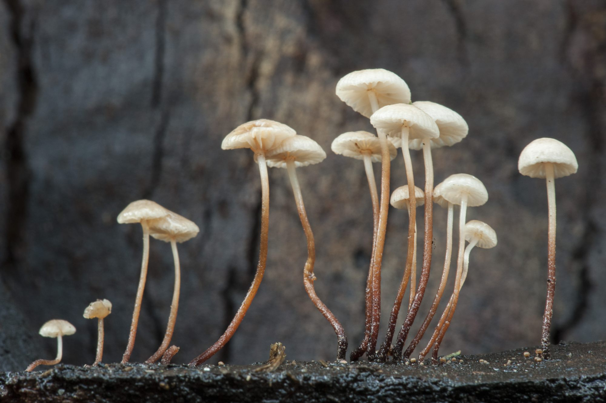 The tiny sporocarps of a Marsmiellus