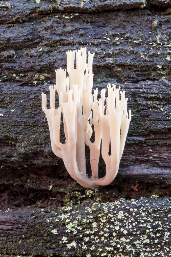 Artomyces austropiperatus
