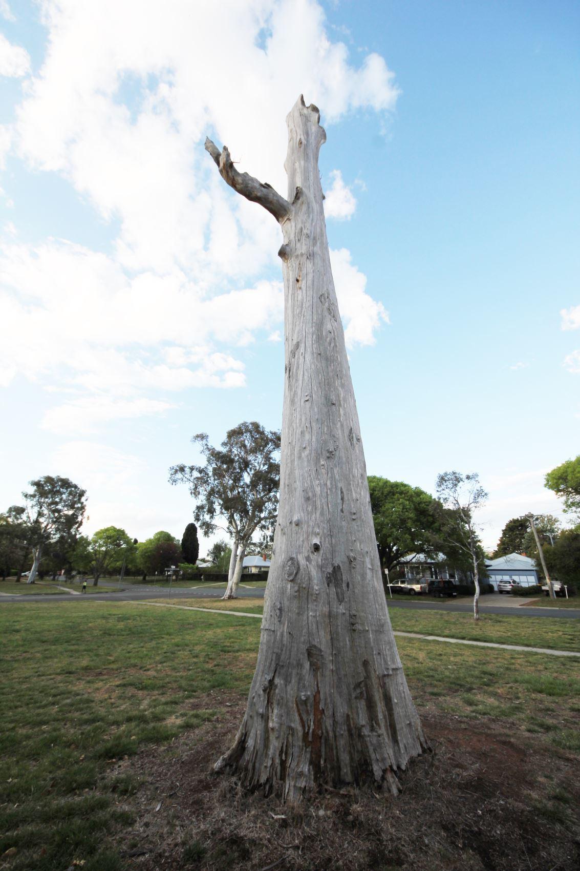 Tallest tree stump