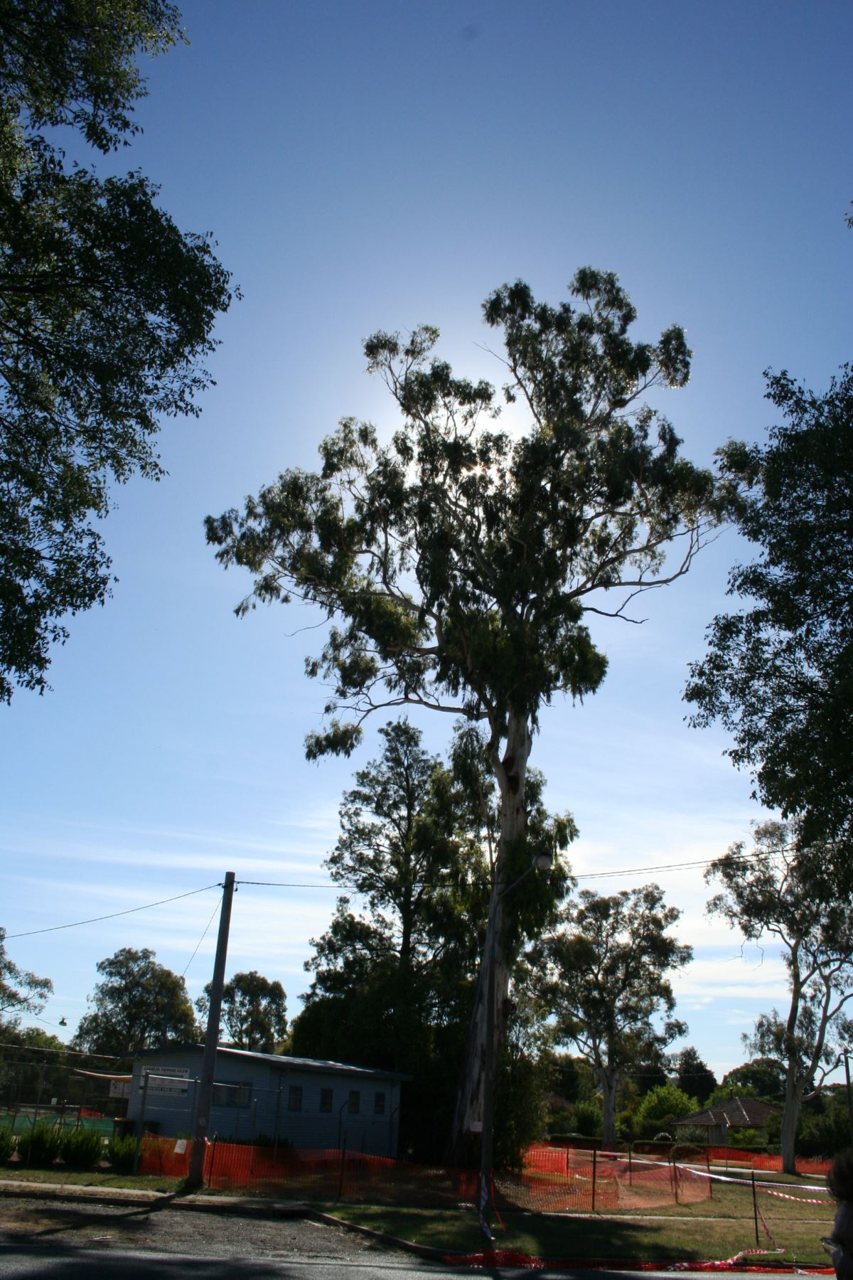 Canberra's tallest tree