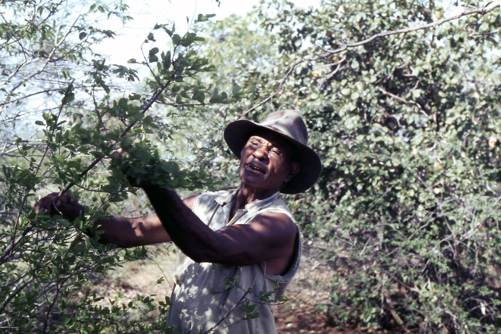 Paddy Roe collecting the fruit of kuwal Flueggea virosa with edible fruit and medicinal bark, Broome, 3 January 1978.