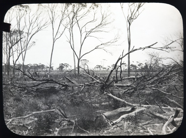 Cleared land ready for burning-off, near Kellerberrin, approximately 1912.