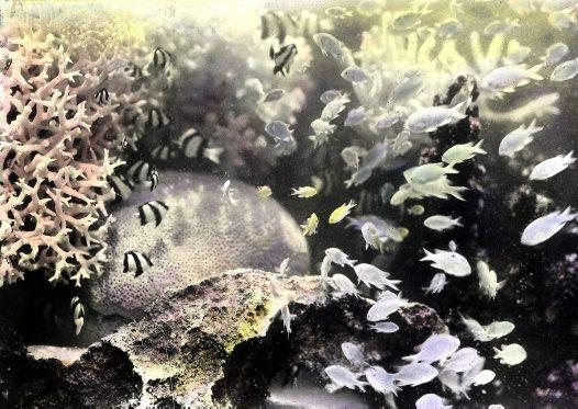Frank Hurley Underwater #7