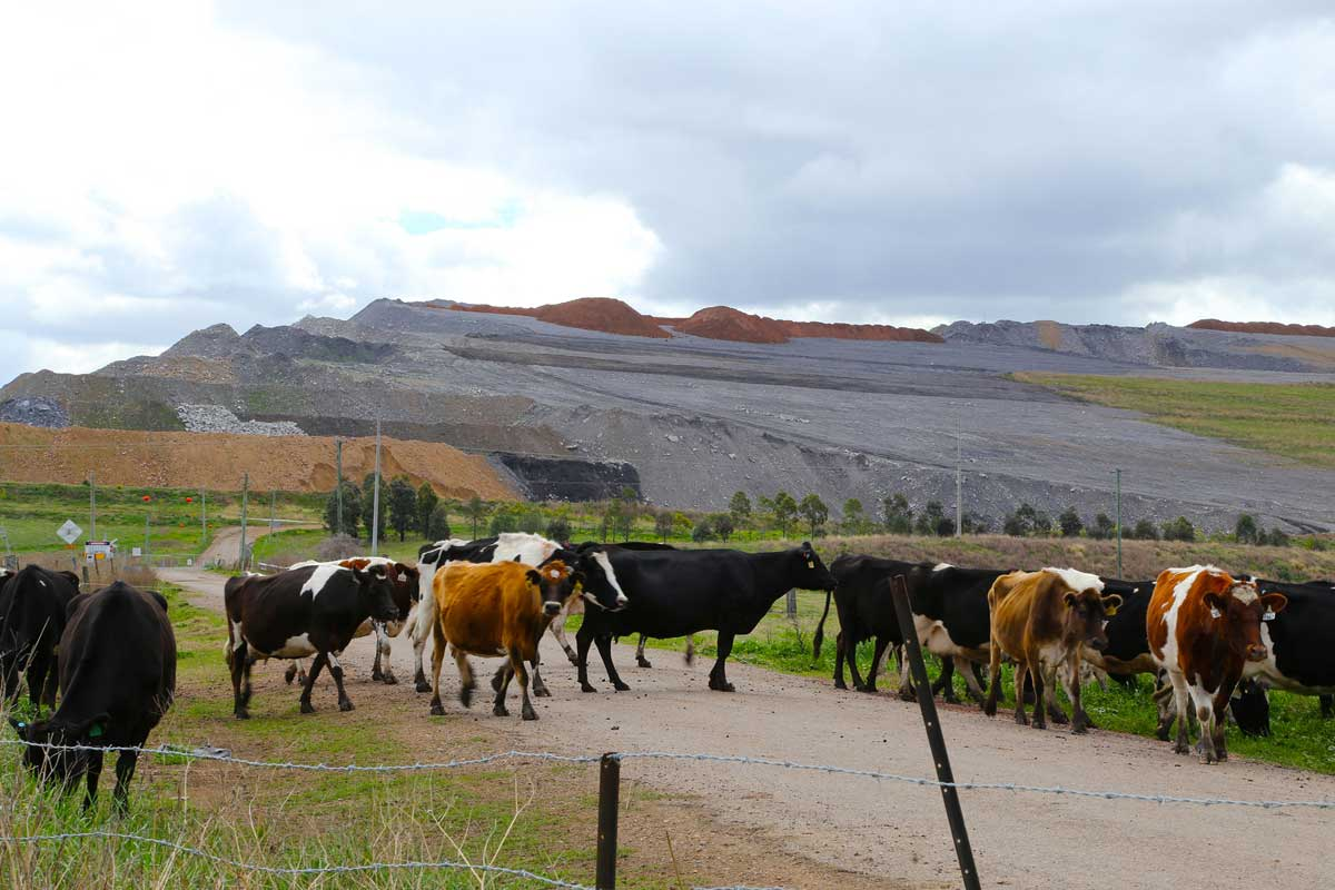 This photo shows dairy cows crossing a road with the Bengalla mine overburden hill in the background