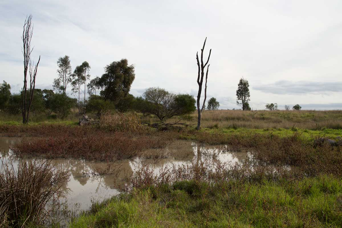 Rehabilitated land area at Rix's Creek, about five years old. The dead tree (known as a stag tree) is 'planted' for birds to use as lookouts. 'They work well,' says Penny. 'I've seen everything from Wedgetails to magpies use them. '