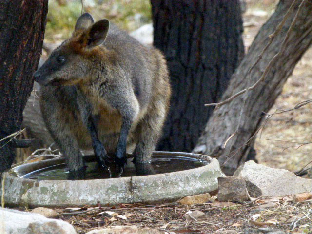 A wallaby cools off in the concrete bird bath