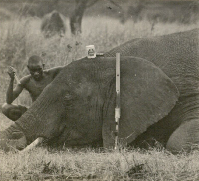 The mother elephant shown here was cut up for souvenirs for the ex-President, including the four toenails..
